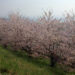 西予市宇和町、桜が満開です。