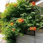 オレンジ色の花が咲き誇っています