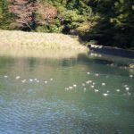 今年も池にカモたちが来ています