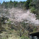 2020年 桜が満開